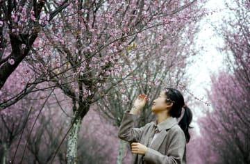 見頃を迎えた「美人梅」 陝西省漢中市