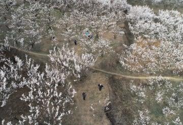 アンズの花が満開に 陝西省藍田県