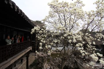 春の訪れ 咲き誇るハクモクレン