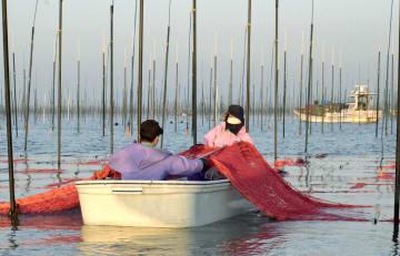 有明海の養殖ノリの種付け作業=2018年10月、佐賀県沖