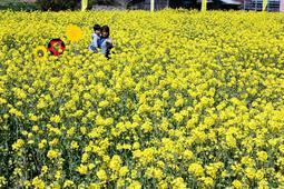 巨大な菜の花迷路。楽しくて何度も挑戦する子どももいた=洲本市大野