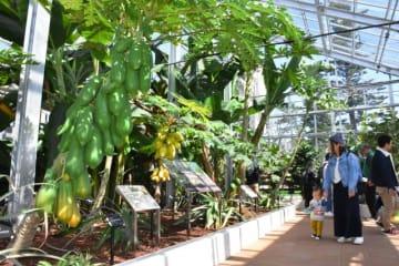 パパイア(手前)などのトロピカルフルーツが植えられている熱帯果樹温室=24日午前、宮崎市・県立青島亜熱帯植物園