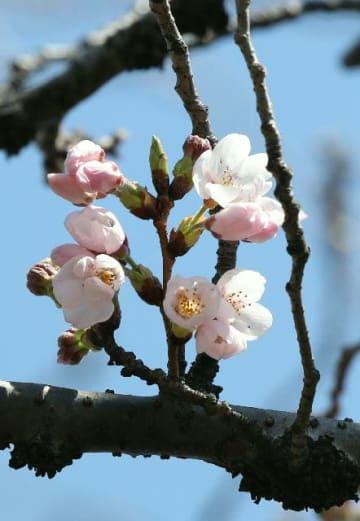 開花した標本木のソメイヨシノ=24日午後、大分市長浜町の大分地方気象台