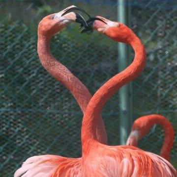 繁殖期を迎えたフラミンゴ。くちばしをぶつけて「ハート模様」を描く瞬間も=池田動物園