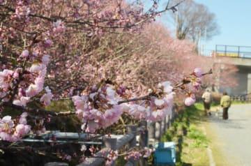 怒田丘陵で開花を始めた「春めき桜」=8日、南足柄市怒田