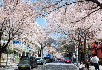 「春待坂」の桜のトンネル(昨年)