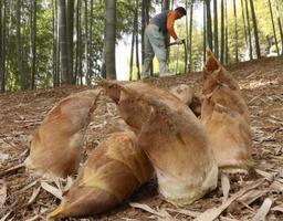 手入れされた竹林から収穫された朝堀りのタケノコ=姫路市西脇