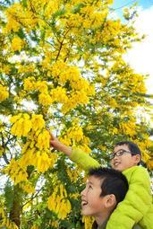 黄色いコンペイトーのような花が空から降り注ぐように咲いたミモザ=円照寺