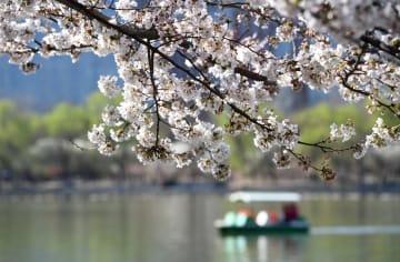 玉淵潭公園に咲き乱れる桜 北京市