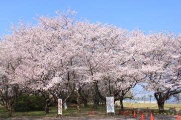桜の散策「走水水源地」期間限定公開!【横須賀市】