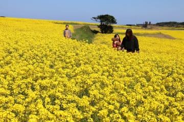 菜の花が見ごろを迎えている魚津ケ崎公園=五島市
