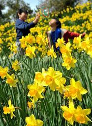 満開となっているラッパスイセンの花=水仙の丘