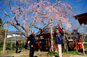 山門脇のシダレザクラの古木が開花した願成就寺=24日、東金市松之郷