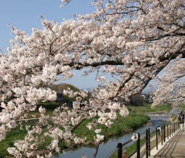 京都・下鴨神社近くの桜
