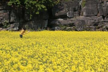 菜の花が咲き誇る畑=西海市西海町