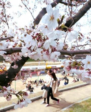 薄いピンクの花が咲き始めた岡山さくらカーニバルの会場=岡山市・後楽園東側