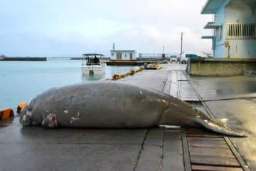 漁港の岸壁に横たえられたジュゴンの死体。左奥の突堤の海側に引っかかっていた=3月18日、今帰仁村・運天漁港