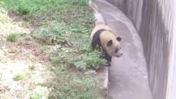 パンダの繁殖に向け、ホルモン値をモニタリング 陝西省