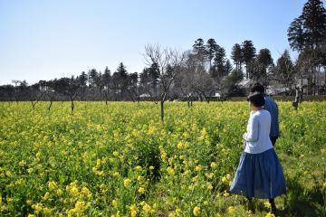 栗畑に咲き誇る菜の花=かすみがうら市上土田の四万騎農園