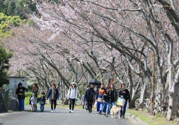 桜坂を上る行楽客=西海市大瀬戸町、松島