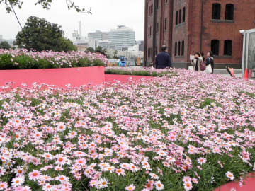 ピンクの花が一面に広がり、観光客からは歓声が上がっていた=横浜赤レンガ倉庫