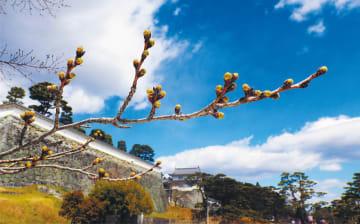 戊辰戦争で落城する悲劇に見舞われた霞ケ城(二本松市)。城跡の桜が早春の空に向かってつぼみを膨らませる。戊辰戦争が終わっても東北はいわれなき汚名を受け続けたが、人々は苦難を乗り越えてきた。冬を耐えて咲く花々のように