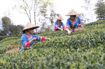 福鼎市の白茶、茶摘みシーズン迎える 福建省
