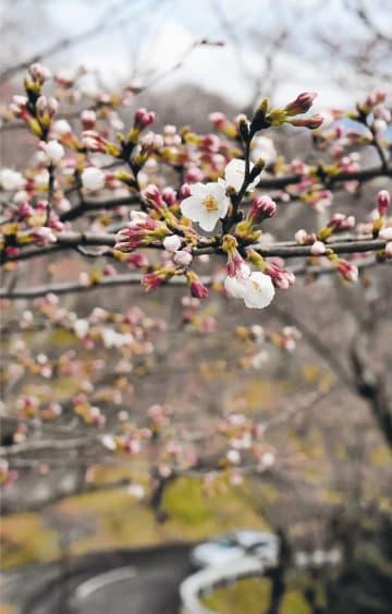 つぼみが開いたソメイヨシノ=31日午後1時10分ごろ、柴田町の船岡城址公園