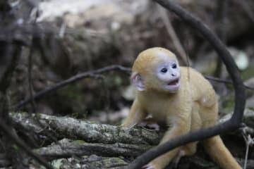 絶滅危惧種のサル、ファイヤールトンが増加 雲南省高黎貢山