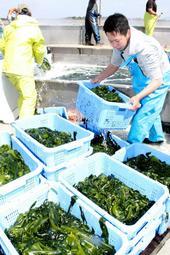 湯通しを終え、ワカメが鮮やかな緑色になった=洲本市由良1