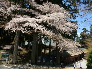 根本中堂の参道で咲き誇る伐採前のヤマザクラ(延暦寺提供)