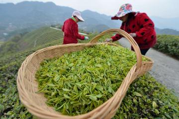 もうすぐ清明節 「明前茶」の茶摘みに勤しむ中国各地の茶農家