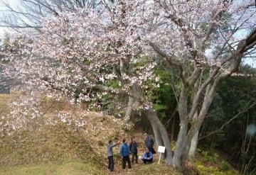 幹が5本に分かれた備前市鶴海の「五本桜」。九分咲きで見頃を迎えた