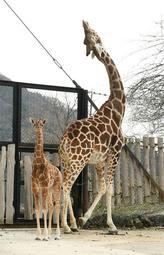 一般公開が始まったキリンの赤ちゃんと母親のミミ=姫路市豊富町神谷