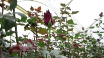 エクアドルのバラ、中国市場で花開く
