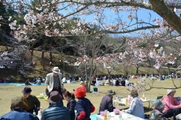見頃を迎えた桜の下で花見を楽しむ市民ら