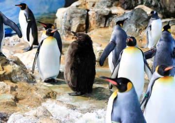 人工授精で誕生したオウサマペンギンのひな(中央)〈鴨川シーワールド提供〉