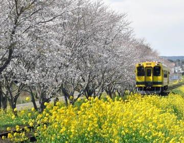 桜と菜の花に囲まれて走るいすみ鉄道=2日、いすみ市新田野