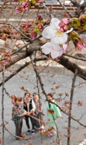 陽気に誘われて開花した大船渡市の「桜の標本木」のソメイヨシノ=5日、同市盛町