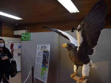 初公開のオオワシの剥製などが並んだ特別展(滋賀県長浜市・湖北野鳥センター)