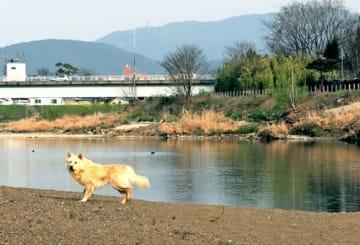 上野橋付近で、記者も取材中に野犬に遭遇した(3月29日夕方、京都市西京区)