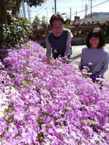 サクラソウが咲き誇る渡辺さん方の庭