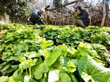 花ワサビを一本ずつ丁寧に収穫する阿部さん夫妻
