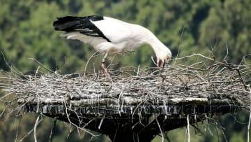 餌を吐き出す行動をするコウノトリの母鳥=8日(島根県雲南市立西小学校提供)