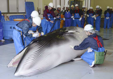 宮城県三陸沖の調査捕鯨で捕獲したミンククジラを調べる調査員ら=8日午後、宮城県石巻市