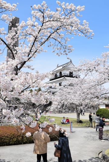 満開となった白石城周辺の桜
