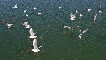 北へ渡るゴビズキンカモメが飛来 陝西省紅鹼淖保護区