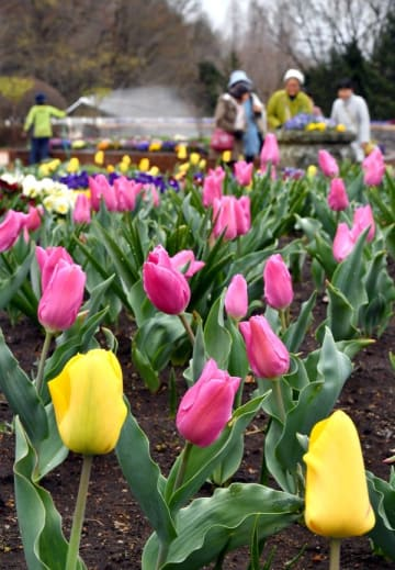 色とりどりの花を咲かせるチューリップ=8日午前、壬生町国谷