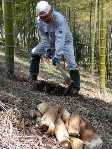 木曽川沿いの竹林で、収穫が本格化している「瀬戸の筍」=中津川市瀬戸