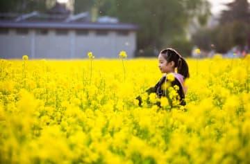 菜の花畑が黄金色のじゅうたんに 河北省武安市